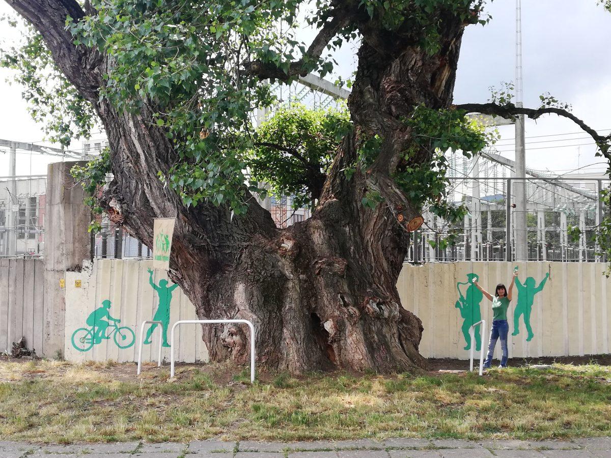 Nyárfavédő akció a Bulgárföldön